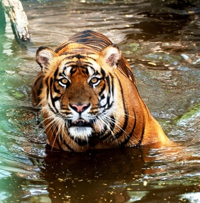 Panthera tigris © M.A.R. Khan