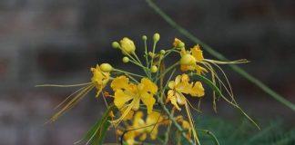 Caesalpinia pulcherrima Family: Caesalpiniaceae
