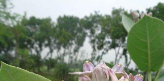 Calotropis gigantea Family: Asclepiadaceae